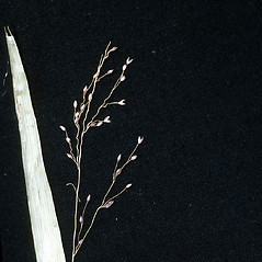 Inflorescences: Dichanthelium scabriusculum. ~ By Robert H. Mohlenbrock. ~  Public Domain. ~  ~ Encyclopedia of Life - www.eol.org