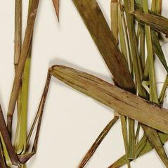 Ligules: Dichanthelium scabriusculum. ~ By Troy University Herbarium. ~ Copyright © 2020. ~ Brian Keener, bkeener[at]uwa.edu ~ Troy U. Herbarium
