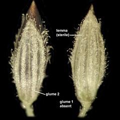 Spikelets: Digitaria filiformis. ~ By Anna Gardner. ~ Copyright © 2018. ~ dlewis[at]ias.edu ~ Ada Hayden Herbarium - Iowa State U.