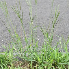 Plant form: Digitaria ischaemum. ~ By Arieh Tal. ~ Copyright © 2017 Arieh Tal. ~ http://botphoto.com/ ~ Arieh Tal - botphoto.com