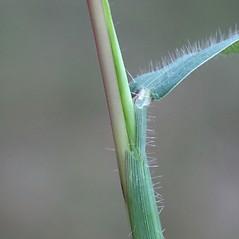 Ligules: Digitaria ischaemum. ~ By Arieh Tal. ~ Copyright © 2020 Arieh Tal. ~ http://botphoto.com/ ~ Arieh Tal - botphoto.com