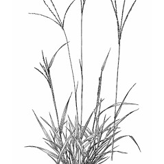 Plant form: Digitaria violascens. ~ By Mary Barkworth. ~ Copyright © 2019 Mary Barkworth. ~ Mary.Barkworth[at]usu.edu ~ Manual of Grasses for North America