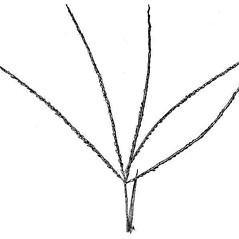 Inflorescences: Digitaria violascens. ~ By USDA-NRCS PLANTS Database. ~  Public Domain. ~ None needed ~ USDA-NRCS Plants Database - plants.usda.gov/java/