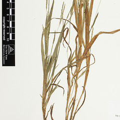 Leaves: Digitaria violascens. ~ By William and Linda Steere and the C.V. Starr Virtual Herbarium. ~ Copyright © 2019 William and Linda Steere and the C.V. Starr Virtual Herbarium. ~ Barbara Thiers, Director; bthiers[at]nybg.org ~ C.V. Starr Herbarium - NY Botanical Gardens