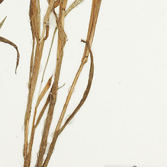 Stems and sheaths: Digitaria violascens. ~ By William and Linda Steere and the C.V. Starr Virtual Herbarium. ~ Copyright © 2018 William and Linda Steere and the C.V. Starr Virtual Herbarium. ~ Barbara Thiers, Director; bthiers[at]nybg.org ~ C.V. Starr Herbarium - NY Botanical Gardens