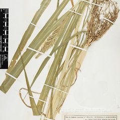 Leaves: Echinochloa frumentacea. ~ By William and Linda Steere and the C.V. Starr Virtual Herbarium. ~ Copyright © 2018 William and Linda Steere and the C.V. Starr Virtual Herbarium. ~ Barbara Thiers, Director; bthiers[at]nybg.org ~ C.V. Starr Herbarium - NY Botanical Gardens