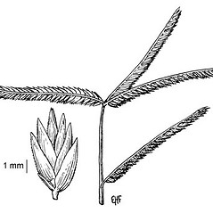 Inflorescences: Eleusine indica. ~ By Elsie Froeschner. ~ Copyright © 2019 Ellen L. Froeschner. ~ Ellen L. Froeschner, 1939-A Frankin Blvd., Carmel Indiana 46032 ~ Ada Hayden Herbarium - Iowa State U.