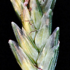 Spikelets: Eleusine indica. ~ By Gerry Carr. ~ Copyright © 2017 Gerry Carr. ~ gdcarr[at]comcast.net ~ Oregon Flora Image Project - www.botany.hawaii.edu/faculty/carr/ofp/ofp_index.htm