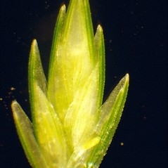 Spikelets: Eleusine indica. ~ By Mark Renz. ~ Copyright © 2017 Mark Renz. ~ mrenz[at]wisc.edu ~ Robert W. Freckmann Herbarium, U. of Wisconsin-Stevens Point