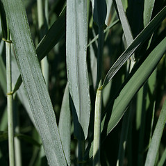 Leaves: Elymus canadensis. ~ By John Hilty. ~ Copyright © 2019 John Hilty. ~ john[at]illinoiswildflowers.info ~ Illinois Wildflowers - www.illinoiswildflowers.info/index.htm