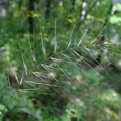 Inflorescences: Elymus hystrix. ~ By Arthur Haines. ~ Copyright © 2018. ~ arthurhaines[at]wildblue.net