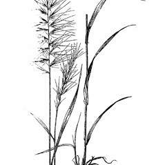 Plant form: Elymus hystrix. ~ By Julian A. Steyermark. ~ Copyright © 2018. ~ Allison Brock, Allison.Brock[at]mobot.org ~ Steyermark, Julian A. 1963. The Flora of Missouri. The Iowa State U. Press, Ames, IA. 1725pp.