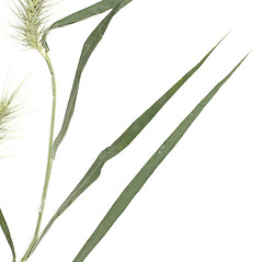 Leaves: Elymus macgregorii. ~ By Derick B. Poindexter. ~ Copyright © 2018 Derick B. Poindexter. ~ dpoindex[at]live.unc.edu ~ Vascular Flora of Alleghany County, NC - vascularflora.appstate.edu/