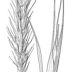 Spikelets: Elymus macgregorii. ~ By Elsie Froeschner. ~ Copyright © 2019 Ellen L. Froeschner. ~ Ellen L. Froeschner, 1939-A Frankin Blvd., Carmel Indiana 46032 ~ Ada Hayden Herbarium - Iowa State U.
