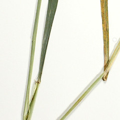 Stems and sheaths: Elymus macgregorii. ~ By Derick B. Poindexter. ~ Copyright © 2019 Derick B. Poindexter. ~ dpoindex[at]live.unc.edu ~ Vascular Flora of Alleghany County, NC - vascularflora.appstate.edu/