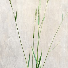 Plant form: Elymus repens. ~ By Arieh Tal. ~ Copyright © 2018 Arieh Tal. ~ http://botphoto.com/ ~ Arieh Tal - botphoto.com