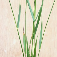 Leaves: Elymus repens. ~ By Arieh Tal. ~ Copyright © 2018 Arieh Tal. ~ http://botphoto.com/ ~ Arieh Tal - botphoto.com