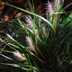 Plant form: Elymus riparius. ~ By Sheryl Pollock. ~ Copyright © 2017 Sheryl Pollock. ~ Requests for image use not currently accepted by copyright holder ~ Discover Life - www.discoverlife.org