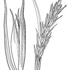 Inflorescences: Elymus riparius. ~ By Anna Gardner. ~ Copyright © 2017. ~ dlewis[at]ias.edu ~ Ada Hayden Herbarium - Iowa State U.