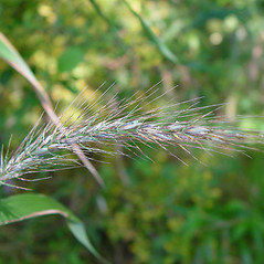 Spikelets: Elymus riparius. ~ By Arthur Haines. ~ Copyright © 2017. ~ arthurhaines[at]wildblue.net