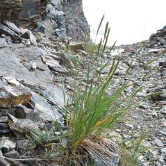 Plant form: Elymus trachycaulus. ~ By Matt Lavin. ~ Copyright © 2020 CC BY-SA 2.0. ~  ~ www.flickr.com/photos/plant_diversity/