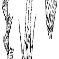 Inflorescences: Elymus trachycaulus. ~ By Elsie Froeschner. ~ Copyright © 2019 Ellen L. Froeschner. ~ Ellen L. Froeschner, 1939-A Frankin Blvd., Carmel Indiana 46032 ~ Ada Hayden Herbarium - Iowa State U.
