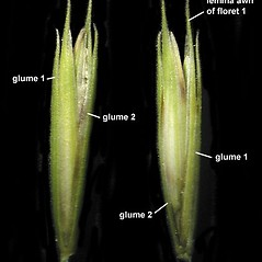 Spikelets: Elymus trachycaulus. ~ By Anna Gardner. ~ Copyright © 2018. ~ dlewis[at]ias.edu ~ Ada Hayden Herbarium - Iowa State U.