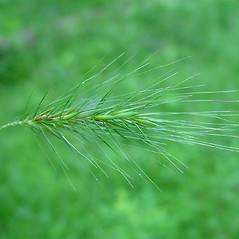 Inflorescences: Elymus villosus. ~ By Arthur Haines. ~ Copyright © 2017. ~ arthurhaines[at]wildblue.net