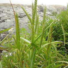 Plant form: Elymus virginicus. ~ By Glen Mittelhauser. ~ Copyright © 2018 Glen Mittelhauser. ~ www.mainenaturalhistory.org