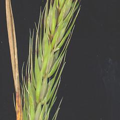 Spikelets: Elymus virginicus. ~ By Glen Mittelhauser. ~ Copyright © 2018 Glen Mittelhauser. ~ www.mainenaturalhistory.org