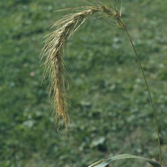 Inflorescences: Elymus wiegandii. ~ By Arthur Haines. ~ Copyright © 2018. ~ arthurhaines[at]wildblue.net