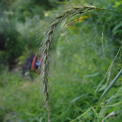 Spikelets: Elymus wiegandii. ~ By Donald Cameron. ~ Copyright © 2018 Donald Cameron. ~ No permission needed for non-commercial uses, with proper credit