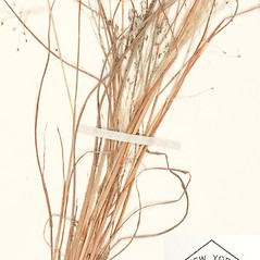 Leaves: Eragrostis capillaris. ~ By William and Linda Steere and the C.V. Starr Virtual Herbarium. ~ Copyright © 2018 William and Linda Steere and the C.V. Starr Virtual Herbarium. ~ Barbara Thiers, Director; bthiers[at]nybg.org ~ C.V. Starr Herbarium - NY Botanical Gardens