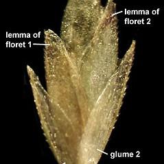 Spikelets: Eragrostis capillaris. ~ By Anna Gardner. ~ Copyright © 2017. ~ dlewis[at]ias.edu ~ Ada Hayden Herbarium - Iowa State U.