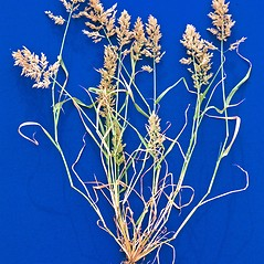 Plant form: Eragrostis cilianensis. ~ By Steve Dewey. ~ Copyright © 2017 CC BY-NC 3.0. ~  ~ Bugwood - www.bugwood.org/