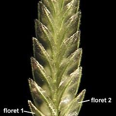 Inflorescences: Eragrostis cilianensis. ~ By Anna Gardner. ~ Copyright © 2019. ~ dlewis[at]ias.edu ~ Ada Hayden Herbarium - Iowa State U.