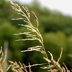 Inflorescences: Eragrostis curvula. ~ By James Miller. ~ Copyright © 2019 CC BY-NC 3.0. ~  ~ Bugwood - www.bugwood.org/