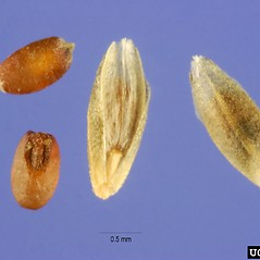 Spikelets: Eragrostis curvula. ~ By Steve Hurst. ~  Public Domain. ~  ~ USDA-NRCS Plants Database - plants.usda.gov/java/