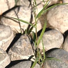 Plant form: Eragrostis frankii. ~ By Giuseppe Sardi. ~ Copyright © 2018 Giuseppe Sardi. ~ www.parcocurone.it/ambiente/flora/index.php ~ Acta Plantarum -  www.actaplantarum.org