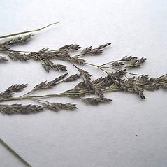 Spikelets: Eragrostis frankii. ~ By Franco Giordana. ~ Copyright © 2018 Franco Giordana. ~ francogrd[at]gmail.com ~ Acta Plantarum -  www.actaplantarum.org