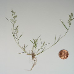 Plant form: Eragrostis hypnoides. ~ By Donald Cameron. ~ Copyright © 2018 Donald Cameron. ~ No permission needed for non-commercial uses, with proper credit