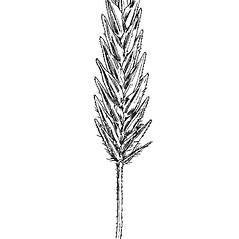 Spikelets: Eragrostis hypnoides. ~ By Mary Barnes Pomeroy. ~ Copyright © 2018 Estate of Herbert Mason. ~ Any use permitted ~ Mason, HL. 1957. A flora of the Marshes of California. U. of California Press, Berkeley and Los Angeles, Library of Congress number 57-7960