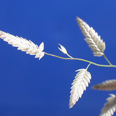 Spikelets: Eragrostis mexicana. ~ By Brad Boyle. ~ Copyright © 2019 Brad Boyle. ~ bboyle[at]email.arizona.edu ~ www.plantsystematics.org