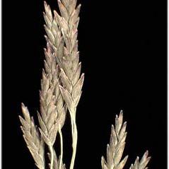 Inflorescences: Eragrostis pilosa. ~ By Andrea Moro. ~ Copyright © 2020 CC BY-NC-SA 3.0. ~  ~ www.luirig.altervista.org