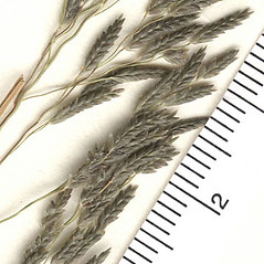 Inflorescences: Eragrostis pilosa. ~ By Arizona State Herbarium. ~ Copyright © 2018 Arizona State Herbarium. ~ Leslie Landrum, les.landrum[at]asu.edu ~ Southwest Environmental Information Network - swbiodiversity.org/seinet/imagelib/index.php