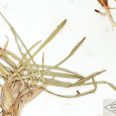Leaves: Eremochloa ophiuroides. ~ By William and Linda Steere and the C.V. Starr Virtual Herbarium. ~ Copyright © 2019 William and Linda Steere and the C.V. Starr Virtual Herbarium. ~ Barbara Thiers, Director; bthiers[at]nybg.org ~ C.V. Starr Herbarium - NY Botanical Gardens