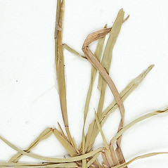 Stems and sheaths: Eremochloa ophiuroides. ~ By William and Linda Steere and the C.V. Starr Virtual Herbarium. ~ Copyright © 2019 William and Linda Steere and the C.V. Starr Virtual Herbarium. ~ Barbara Thiers, Director; bthiers[at]nybg.org ~ C.V. Starr Herbarium - NY Botanical Gardens