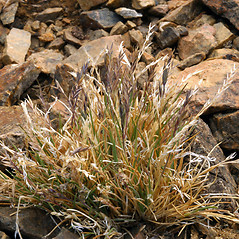 Plant form: Festuca brachyphylla. ~ By Steve Matson. ~ Copyright © 2019 Steve Matson. ~ No permission needed for non-commercial, educational uses, with proper credit ~ CalPhotos - calphotos.berkeley.edu/flora/