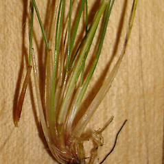 Stems and sheaths: Festuca filiformis. ~ By Jill Weber. ~ Copyright © 2017 Jill Weber. ~ jillweber03[at]gmail.com