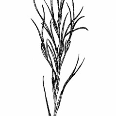Inflorescences: Festuca prolifera. ~ By Elizabeth Farnsworth. ~ Copyright © 2018 New England Wild Flower Society. ~ Image Request, images[at]newenglandwild.org